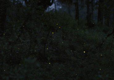 LG prueba televisores OLED santuario de luciérnagas